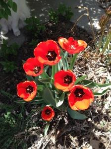 Tulips 2015